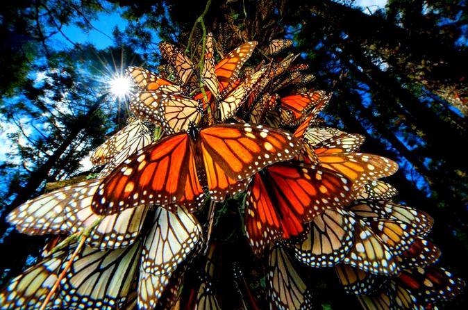 6 noites de migração de borboletas monarcas, saindo da Cidade do México