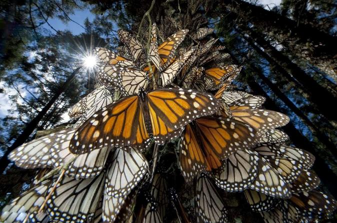 Monarch Butterfly Tour- 7 day
