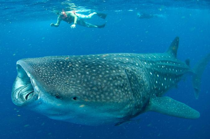 Swim with whale sharks in cancun small group snorkeling tour in cancun 171325