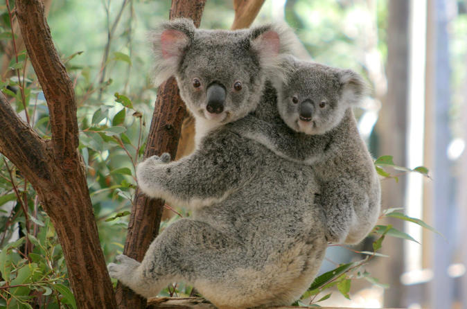 Lone pine koala sanctuary day pass in brisbane 343404