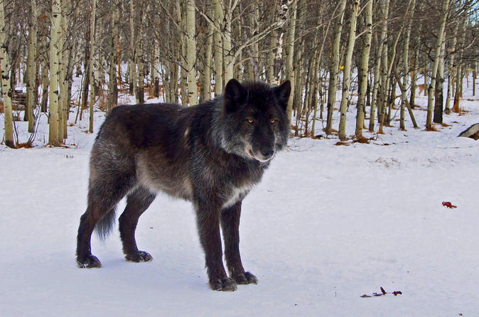 Yamnuska wolfdog sanctuary guided tour in cochrane 252909