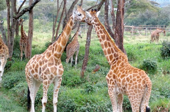 National Museum of Kenya Giraffe Center and Nairobi National Park Guided Day Tour