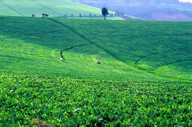 NAIROBI DAY TOUR TO KIAMBETHU TEA FARM IN LIMURU