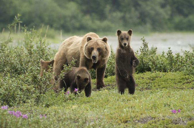 Juneau Shore Excursion: Exclusive Pack Creek Bear Viewing from Juneau