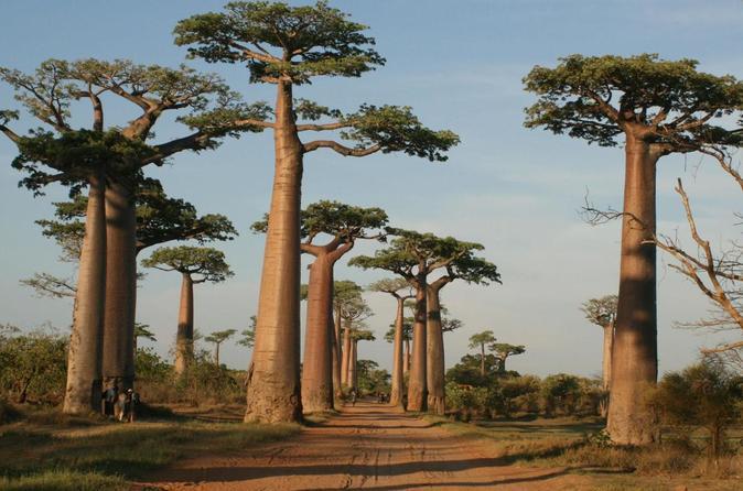 Pohon Kuno Afrika Berusia Ribuan Tahun Dilaporkan dalam Kondisi Sekarat