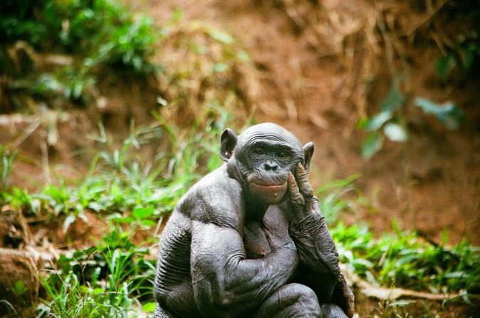 Bonobo Sanctuary Half-Day Tour (Lola Ya Bonobo)