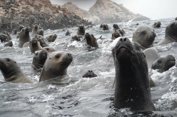 Swimming with Wild Sea Lions in Lima