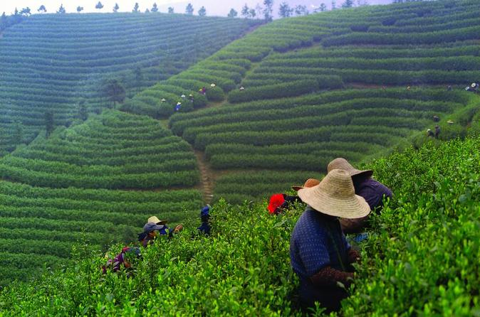 Experience Chengdu: Private Tea-Making Tour of Mengdingshan Tea Plantation