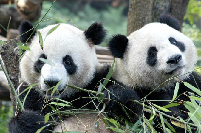 Well-known Tour de medio día por el centro de cría de pandas de Chengdu con  PV25