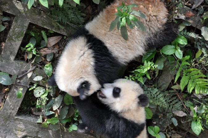 5-Day Giant Panda Experience at Ya'an Bifengxia Panda Base from Chengdu