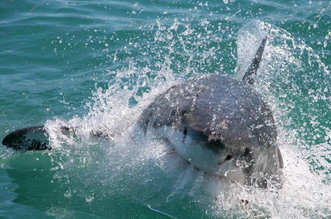 Mergulho em gaiola com os espetaculares tubarões brancos na Cidade do Cabo