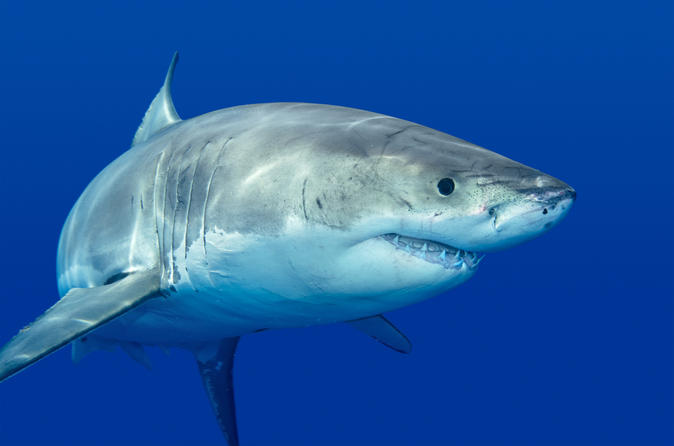 Private tour cage dive with great white sharks from cape town in cape town 146984