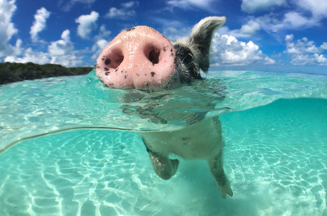 Discover Miami by car - the magic city and go swimming with the wild pigs of the Bahamas