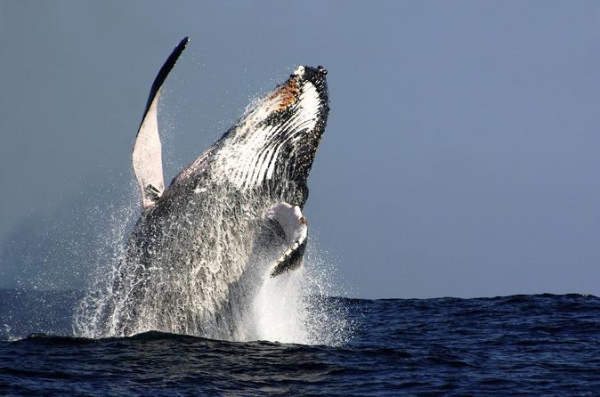 Cruzeiro de observação de baleias em Sydney incluindo almoço ou o café da manhã