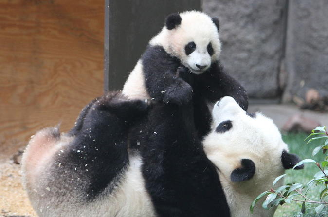 5-Hour Private Tour: Chengdu Panda Research Center with One-Way Airport Transfer
