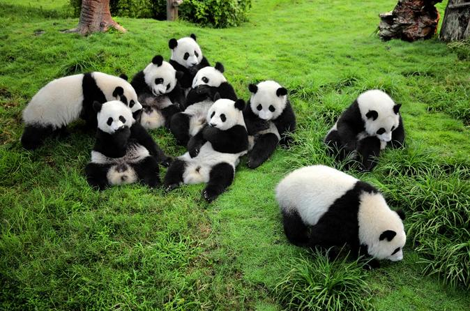 Guided Chengdu Day Tour including the Panda Breeding Center, Jinsha Museum, People's Park and Sichuan Opera