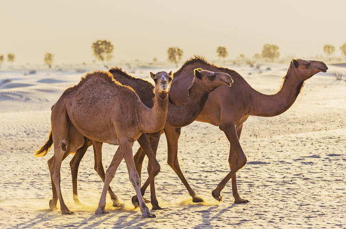 Dubai Desert Morning Tour in 4x4 Vehicle: Camel Ride, Quad Bike Tour, Sandboarding and Camel Farm