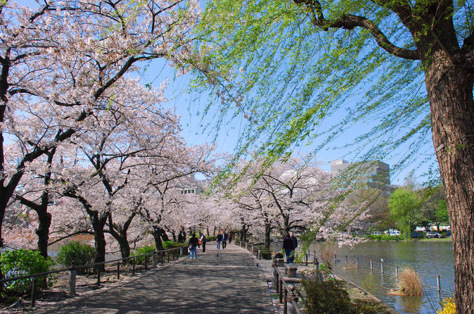 Tokyo Cherry Blossom Walking Tour in Asakusa