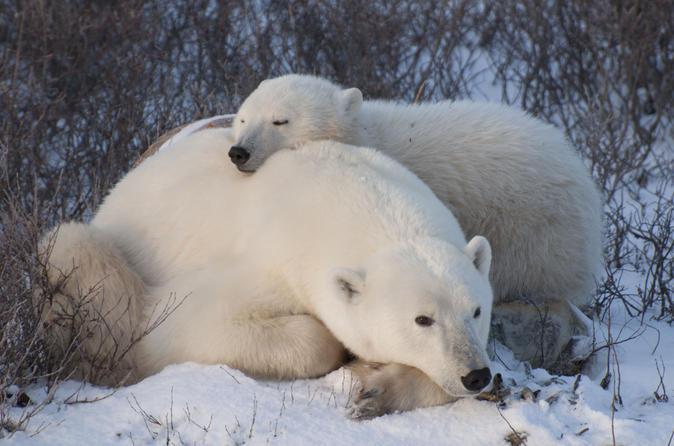 5-Night Churchill Tour and Polar Bear Adventure from Winnipeg