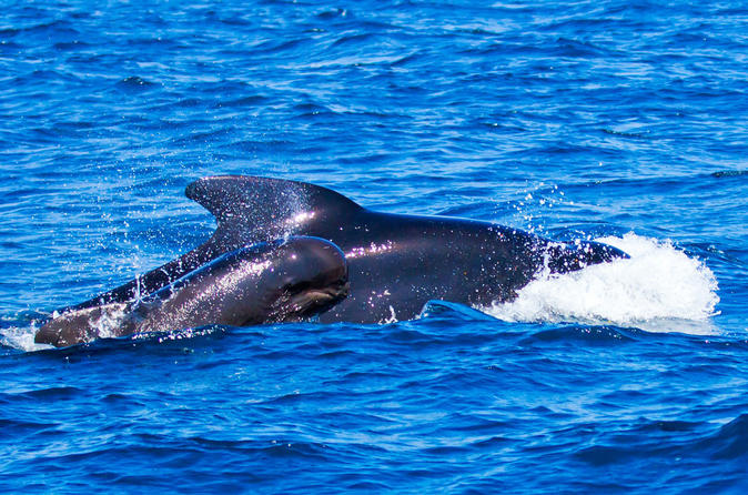 Small Group Whale Watching 1 Hour Tour - Tenerife