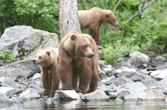 Alaska Bear Viewing Tour To Wolverine Creek From Soldotna, Alaska