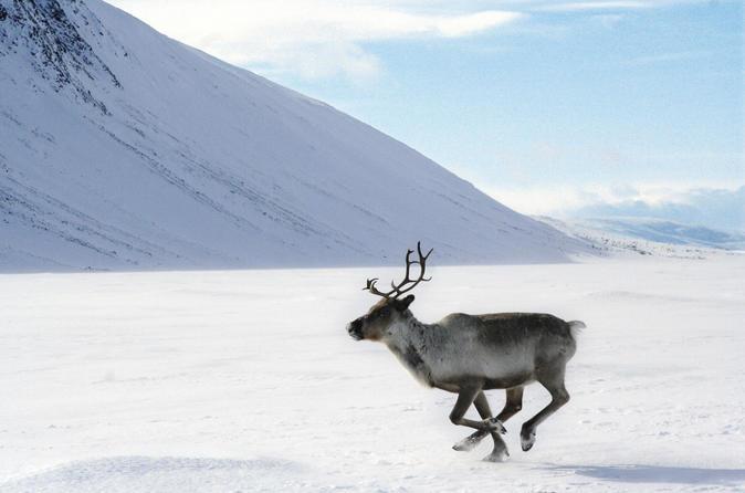Lapland Reindeer Sleigh Ride From Ylläs