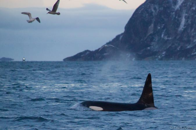 Lapland Whale-Watching Tour from Tromso