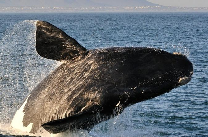 WHALE WATCHING IN HERMANUS AND BETTY'S BAY DRIVE - Cape Town