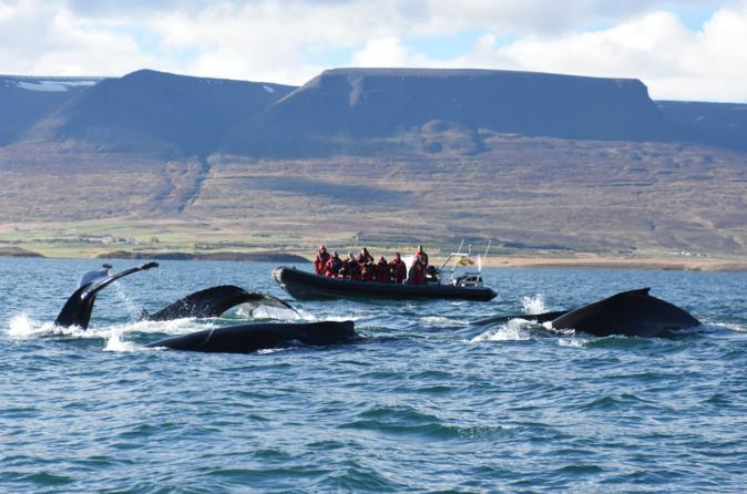 Small-Group Whale Watching from Akureyri