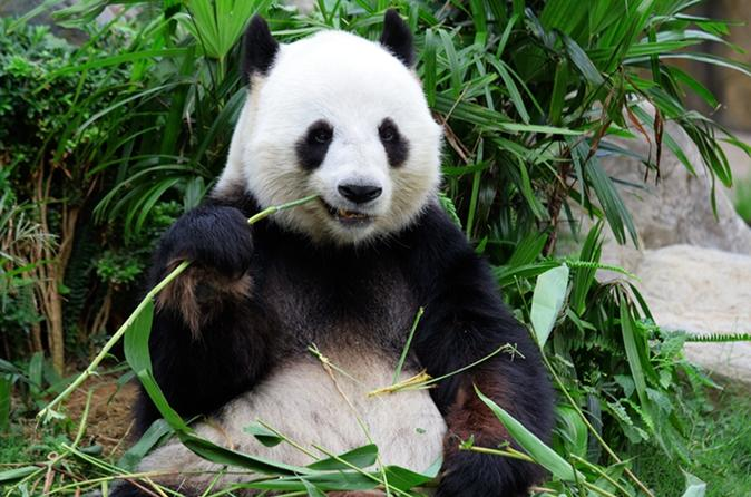 Essence chongqing and giant panda day tour in chongqing 234402