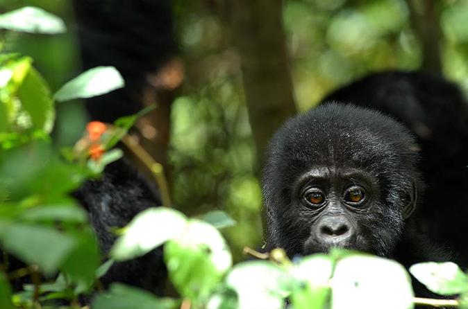 5 days rwanda uganda gorilla tour in kigali 218532