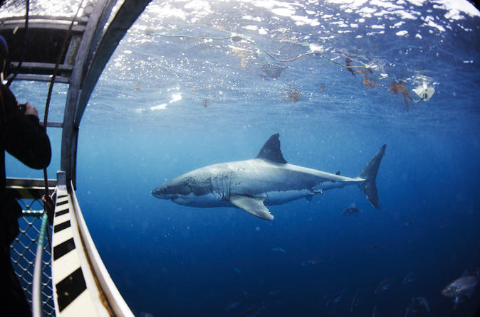 Great white shark cruise with optional cage dive and aqua sub from in port lincoln 187416