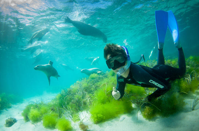 Half day sea lion snorkeling tour from port lincoln in port lincoln 187960