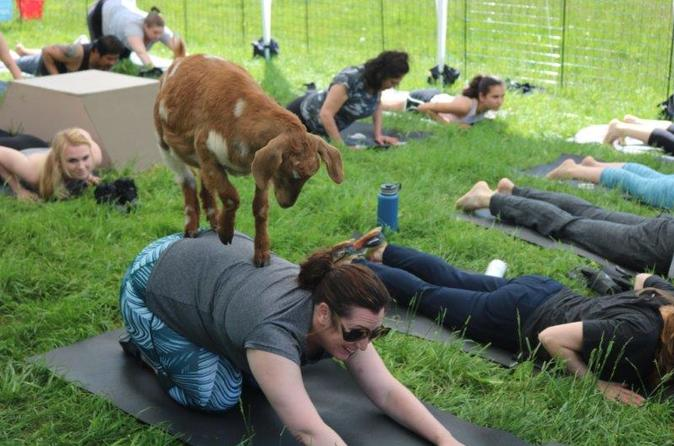 Goat Yoga in Picturesque Snohomish, WA