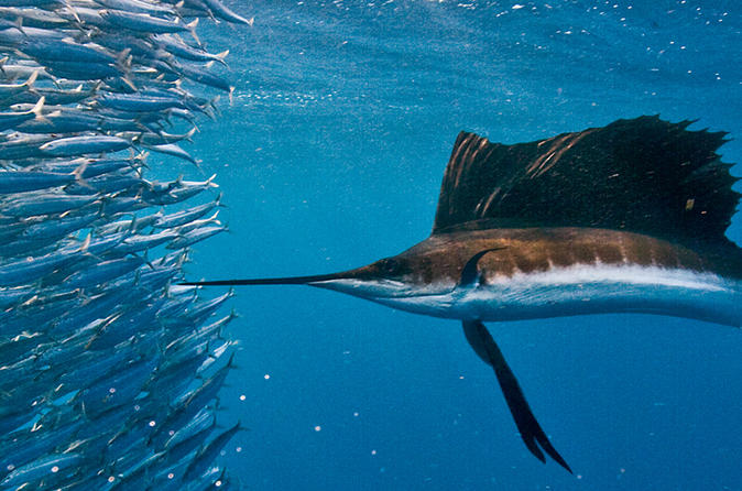 Swim with Sailfish Tour in Isla Mujeres