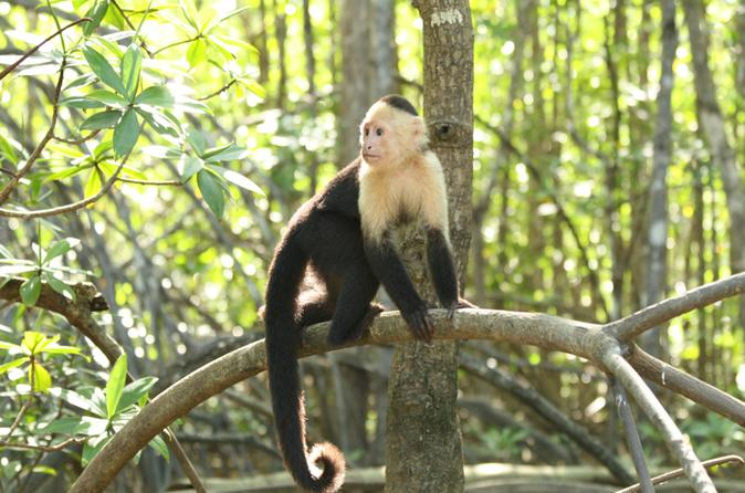 Mangrove monkey tour from jaco in jaco 195379