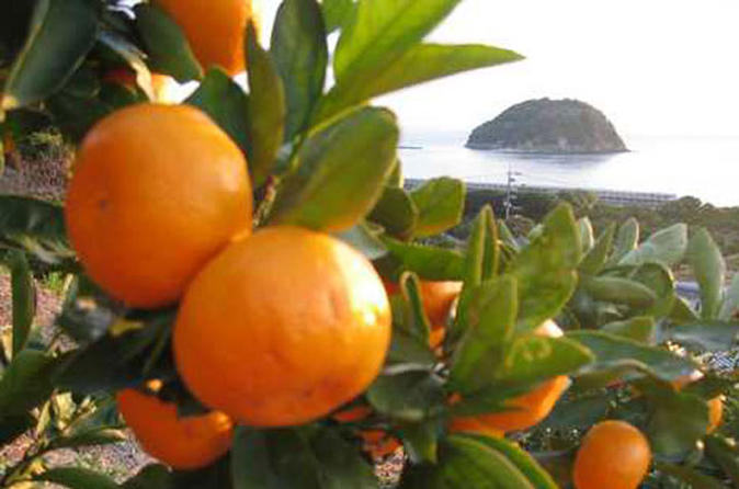 Seto Inland-sea Mandarin Orange picking - All you can eat, No time limit !