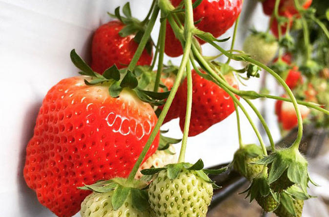 Strawberry picking in Yamanashi - 40min All you can eat ! (Souvenir included)