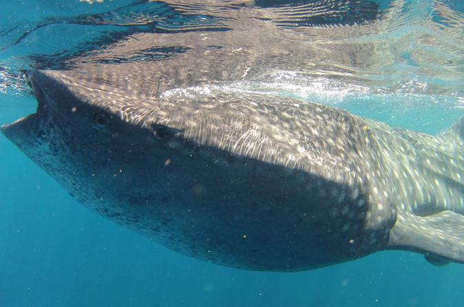Small-Group Whale Shark and Snorkeling Tour from Cancun