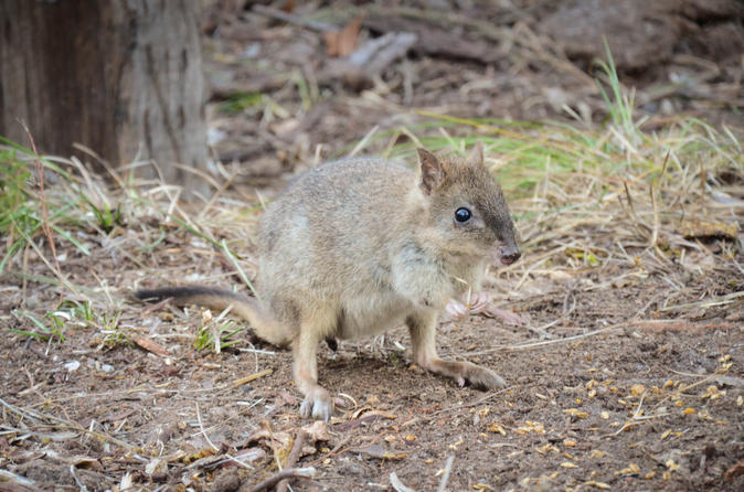 Evening woylie encounter from busselton or dunsborough in margaret river 308140